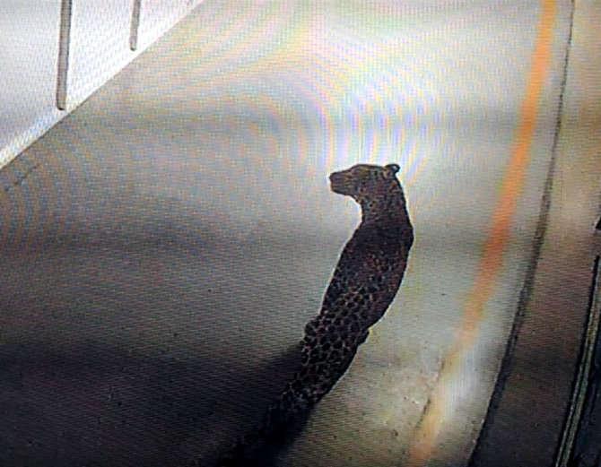 Maruti Suzuki के प्लांट में घुसा तेंदुआ, दहशत में कर्मचारी