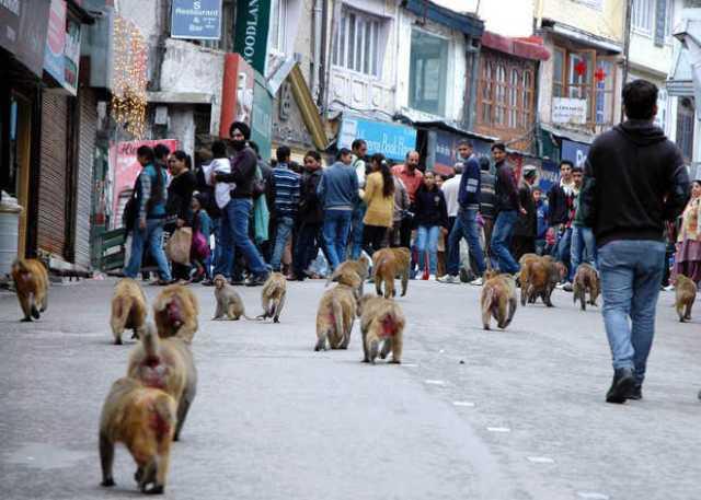 केंद्र सरकार ने शिमला में दी बंदरों को मारने की इजाजत, लेकिन साथ में लगाई एक शर्त