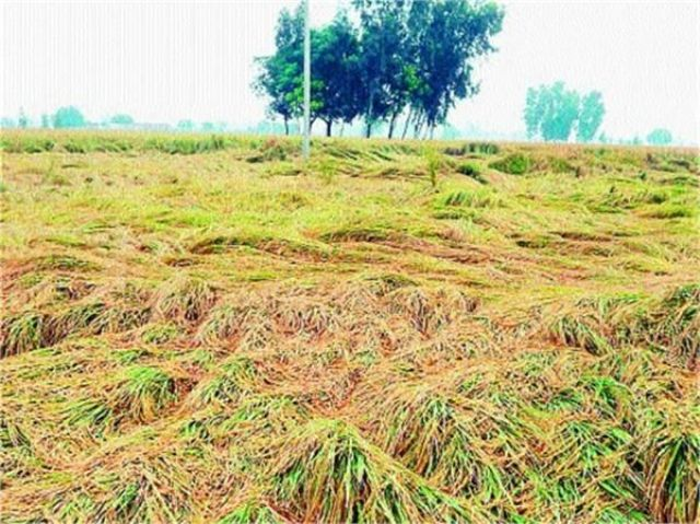 हरियाणा:  कई जिलों में बारिश बनी मुसीबत, फसलों को नुकसान की संभावना