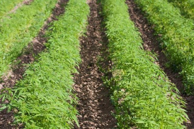 हिमाचल में भांग की खेती को लीगल करने का पेंच फंसा, ये है कारण