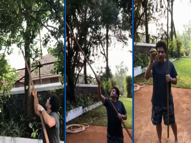 VIDEO: सचिन तेंदुलकर ने पेड़ से तोड़े नींबू, भज्जी बोले- पाजी 2-3 मेरे लिए...