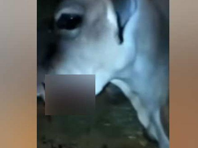 VIDEO : केरल में हथिनी के बाद अब हिमाचल प्रदेश में गर्भवती गाय को खिलाया विस्फोटक, उड़ा जबड़ा