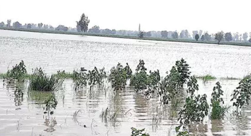 Haryana: कपास के बाद अब धान की फसल भी होने लगी है खराब